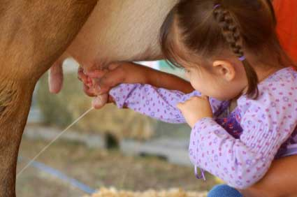 Little Girl Milking